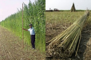 Industrial Hemp is grown outside of the USA for fiber, cleaning up soil contamination, fuel, clothing, paper, oil high in essential fatty acids, and CBD oil.