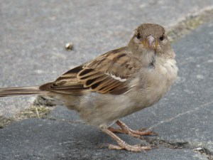 HouseSparrow