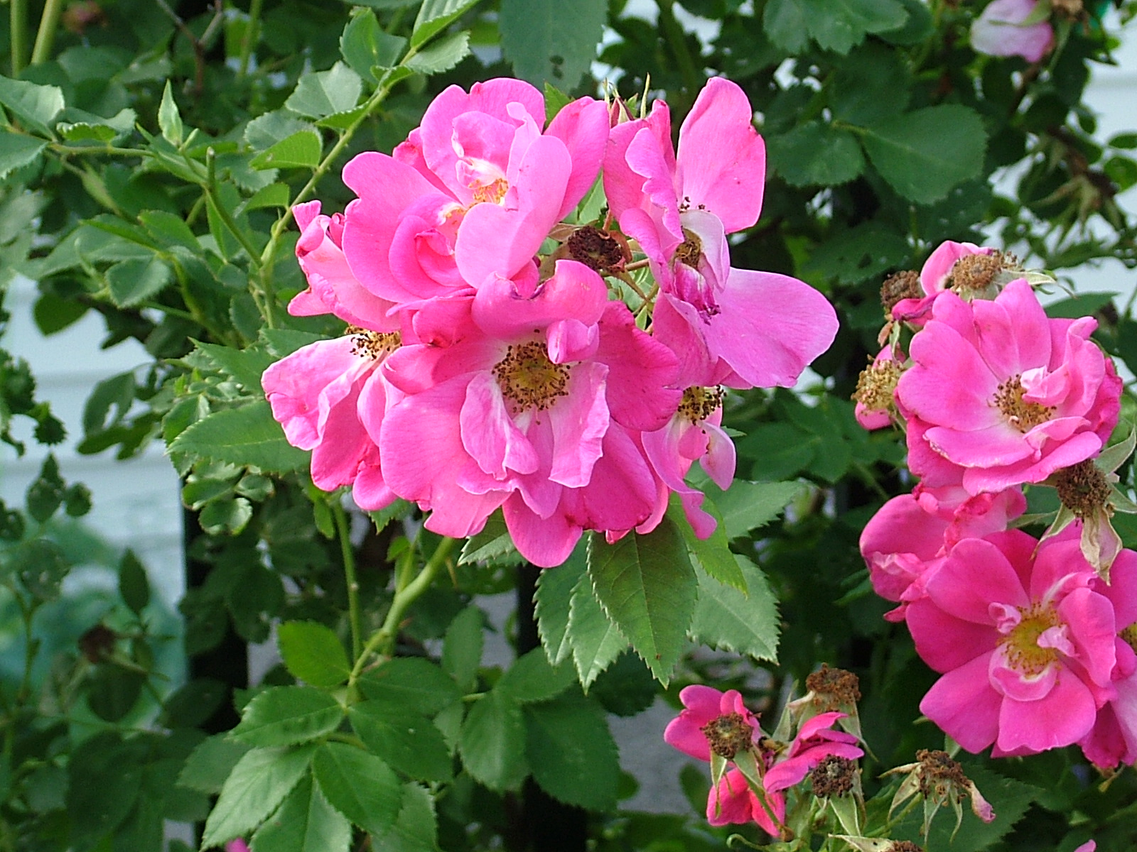 William Baffin, roses, fuscia, pink, red, climbing, vines, fence, garden