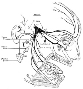 Fifth Cranial Nerve Distribution:  Trigeminal Nerve (from Wikipedia 2.27.15)
