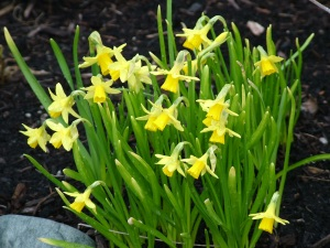 daffodils, mini daffodils, buttercup flowers, Spring flowers