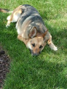 garden dog, German shepherd, grass, sleeping, pet, pup, sneaky, dog