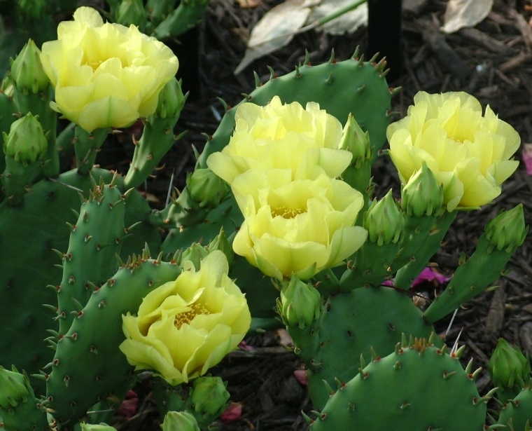 Prickly pear cactus, Indiana, cactus, yellow, flowers, garden, gardening, Zone 5, garden themes, poetry