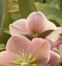 Hellebores, hybrid, tender, lenten rose, blog, poetry, prose, Winter, early Spring