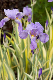 varigated iris, hope beyond, Christian, iris, inspiration, garden, meaning, gardening, metaphor, poetry